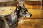 Togo at Iditarod Headquarters