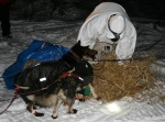 Ramey Smyth spreads straw for his dogs in Koyuk.