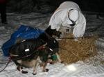 Ramey Smyth spreads straw for his dogs in Koyuk.