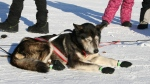 Lachlan Clarke's dog rests while Clarke changes to another sled.