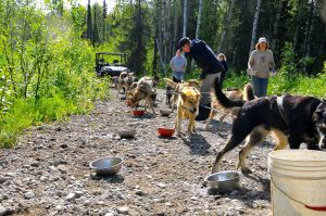 Vern Halter's (Dream a Dream Dog Farm) dogs taking a snack and water break on a summer tour run.