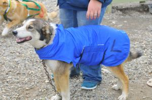 One of Vern Halter's dogs modeling a winter coat.