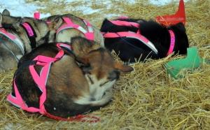 Dee Dee Jonrowe's dogs sleeping