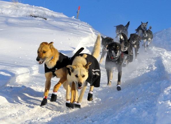 Martin Buser's dog team leaving Huslia