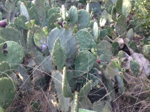 Texas prickly pear