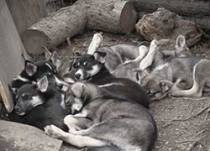 photos-puppy-pile-th